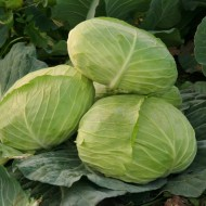 Seminte varza Caruso F1 (10.000 seminte), forma aplatizata, agroTIP