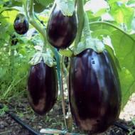 Seminte vinete Dalia F1 (100 seminte), productivitate mare, De Ruiter Seeds