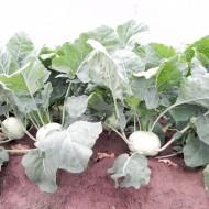 Solares - 2500 sem - Seminte de gulioare pentru cultura de vara-toamna cu plante puternice rezistente la caldura avand culoarea bulbilor alb-verzui si forma rotunda semi-plata de la Enza Zaden