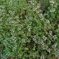 Sovarf alb (0,15grame), planta perena cu aroma, Opal