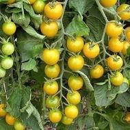 Summer Sun F1-50 sem- seminte rosii tip''cirese'',culoare galben de la Hazera