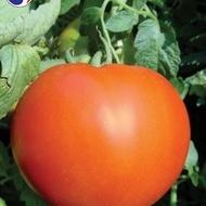 Tomate Maraton F1 – 1 gr – Seminte Rosii Hibrid Nedeterminat Superior Seeds Serbia