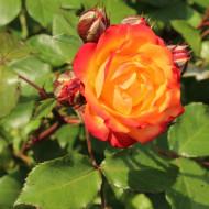 Trandafir Rumba (1 butas), trandafir polyanthe cu flori superbe ce isi schimba culoarea in timp, butasi de trandafiri