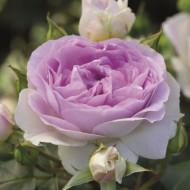 Trandafir Saphir (1 butas in ghiveci 2 l) cu flori de culoare violet luminos si petale fine ca portelanul, butasi de trandafiri Tantau