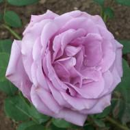 Trandafir Sterling Silver (1 butas), mov argintiu, butasi de trandafiri