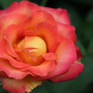 Trandafir Teahybrid Alinka, butasi de trandafiri premiati, cu inflorire repetata, cu flori bogate, intr-o combinatie superba de galben cu rosu-portocaliu, Yurta