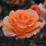 Trandafir Teahybrid Doris Tysterman (1 butas in ghiveci 2 l), trandafir portocaliu vesel, butasi de trandafiri