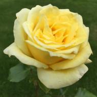 Trandafir urcator Casino (1 butas), trandafir catarator teahibrid cu flori parfumate de culoare galben intens, butasi de trandafiri