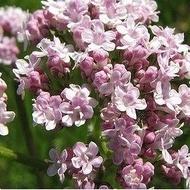 Valeriana - Seminte Plante Medicinale Valeriana de la Florian