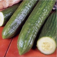 Veloce F1 - 1000 sem - Seminte de castraveti lungi de sera fructe lungi 35-38 cm culoare verde inchis de la Rijk Zwaan