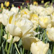 Verona (8 bulbi), lalele galbene batute, bulbi de flori