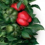 Vitamin F1 - 1000 sem - Seminte de ardei gogosar cu fructe inalte mari uniforme gust dulce ce rezista foarte bine la virusul mozaic al tutunului de la Duna-R
