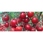 Yeniceri F1 - 250 sem - Seminte de tomate cherry nedeterminate de culoare rosu inchis cu fructe tari de inalta calitate avand perioada lunga de depozitare de la Yuksel