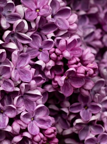 True Lilac Fragrance Oil