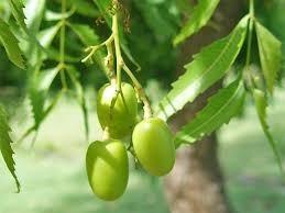 Neem Seed Oil - PURE