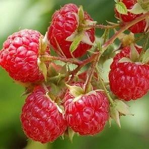 Raspberry Seed Oil - PURE