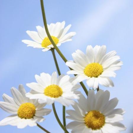 Daisy Dreamgirl Fragrance Oil