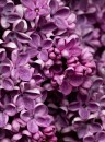 True Lilac Fragrance Oil