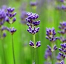 Lavender Essential Oil (commercial grade)