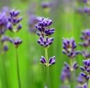 Lavender Essential Oil (commercial grade)