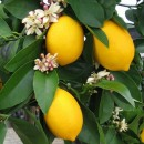 Lemon Blossom Fragrance Oil
