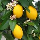 Lemon Blossom Fragrance Oil