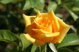 Slika Golden Monika