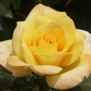 Slika GOLD MEDAL