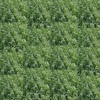 samanta plante furajere de raigras sau lolium hibrid