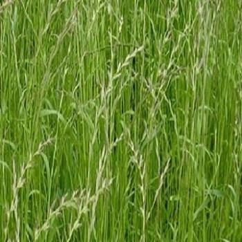 Raigras italian, lolium italian seminte plante furajere