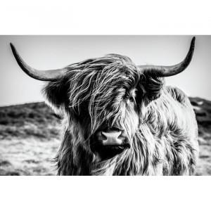 Tablou, Highland Cow, gri/negru, 60 x 90 cm