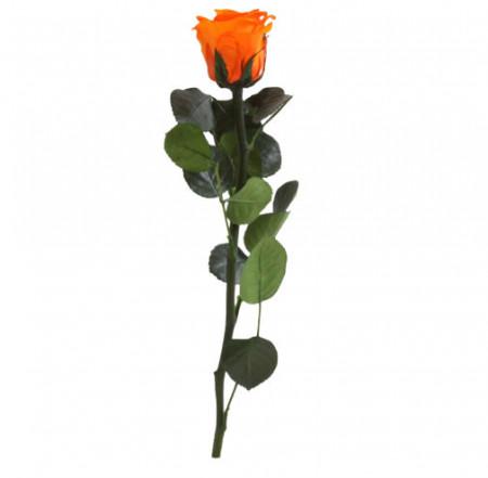 Trandafir PORTOCALIU Natural Criogenat cu tulpina 27cm + cutie transparenta