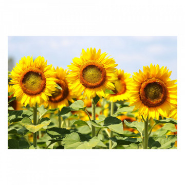 Fototapet autoadeziv - Floarea Soarelui