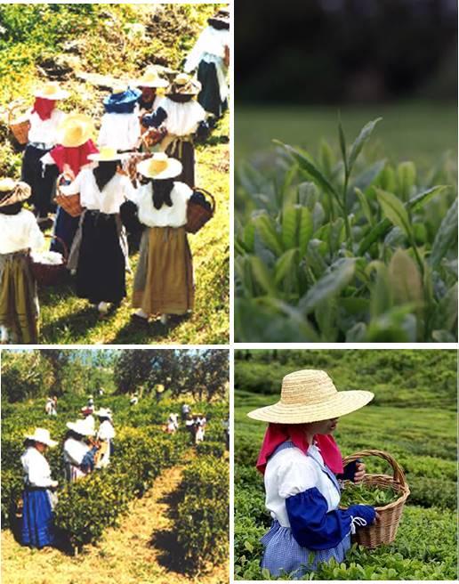 Apanha do Chá em Porto Formoso em trajes tipicos