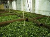 Chá Verde Gorreana dos Açores combinado 80g x 4 uni.