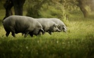 Presunto Perna Inteiro Porco Preto do Alentejo Grande Escolha Bolota- 30 Meses 7-8kg