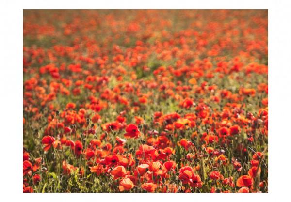 Fototapet - A field of poppies