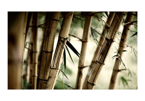 Poze Fototapet - Fog and bamboo forest
