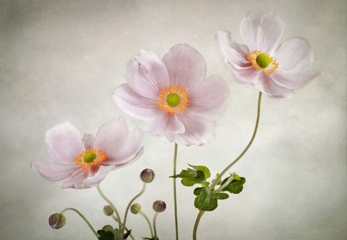 Anemones Photo Wallpaper Mural