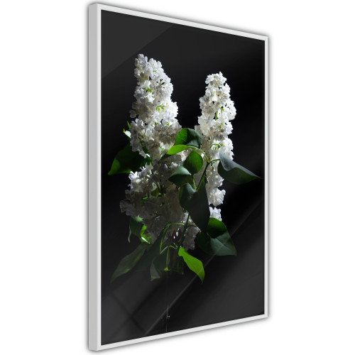 Poster - White Lilac