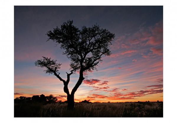 Fototapet - Acacia tree silhouette