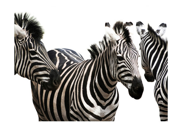 Fototapet - Three zebras