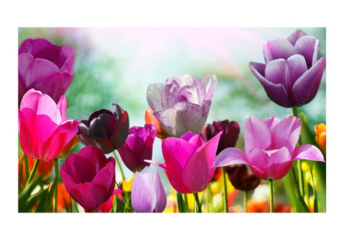 Poze Fototapet - Beautiful spring flowers, tulips