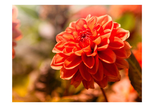 Poze Fototapet - Dahlia in the garden