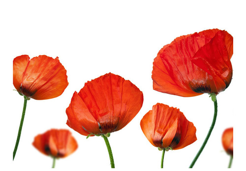 Poze Fototapet - Red poppies on white background