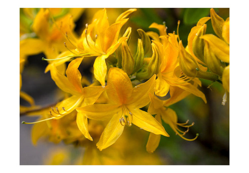 Poze Fototapet - Close-up of yellow azalea