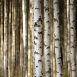 Birch Trees In The Forest Photo Wallpaper Wall Mural