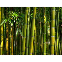 Fototapet - Asian bamboo forest