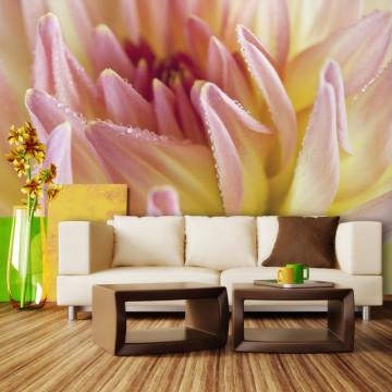 Fototapet - Pastel colored dahlia flower with dew drops