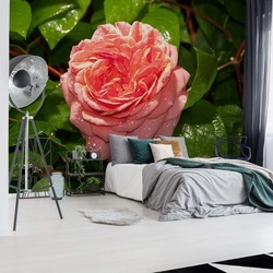 Pink Rose Photo Wallpaper Wall Mural